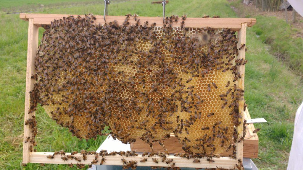 favo costruito dalle api