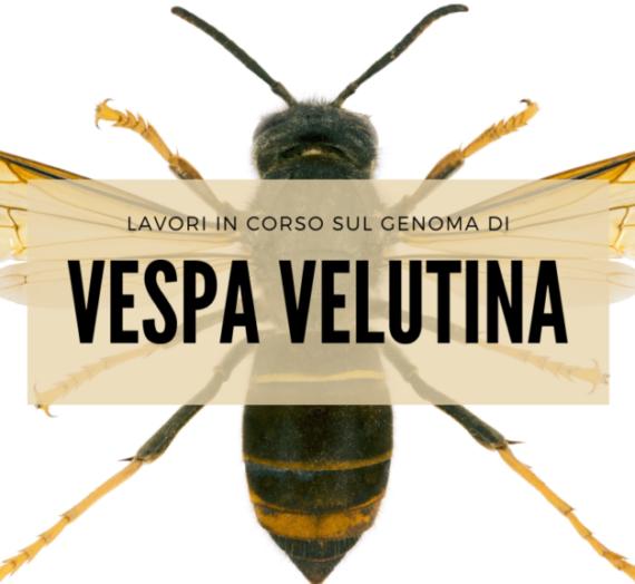 Lavori in corso sul genoma di vespa velutina
