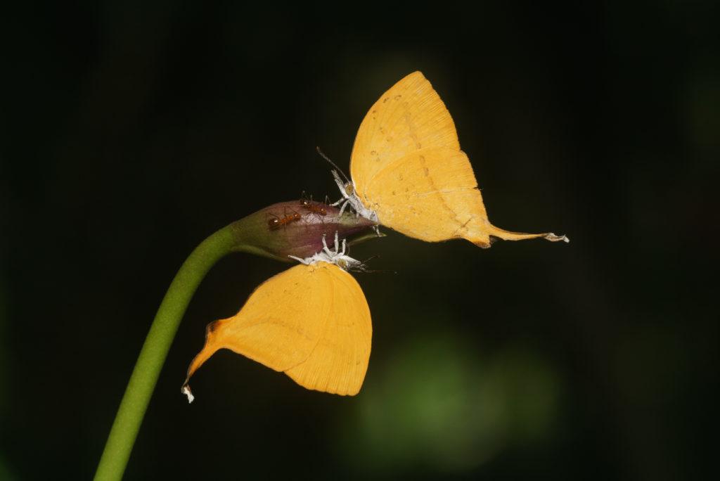 farfalle formiche nettare